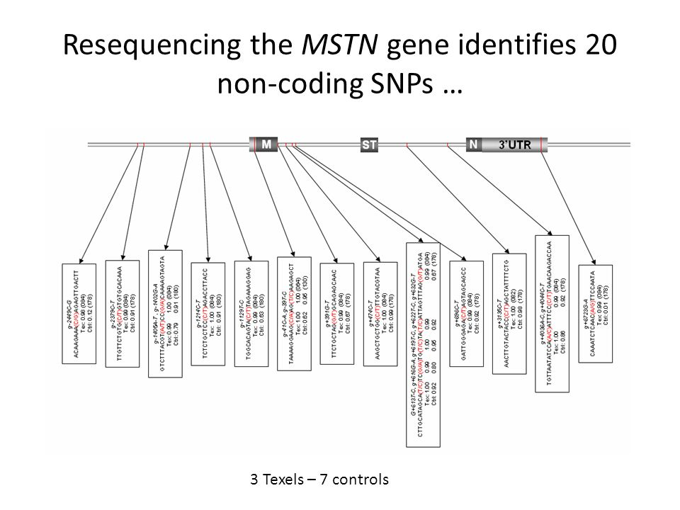 Resequencing the MSTN gene identifies 20 non-coding SNPs …