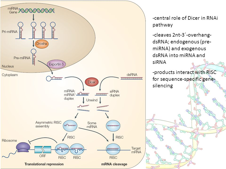 -central role of Dicer in RNAi pathway