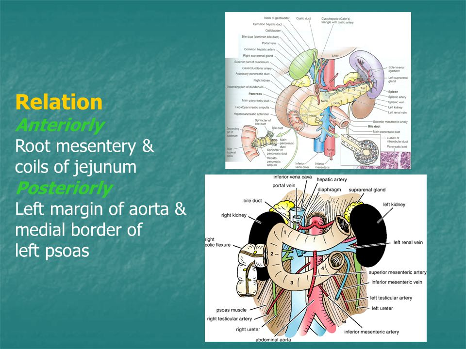 Relation Anteriorly Root mesentery & coils of jejunum Posteriorly