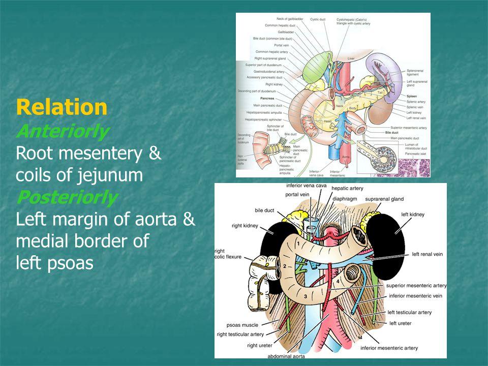 Relation Anteriorly Root mesentery & coils of jejunum Posteriorly