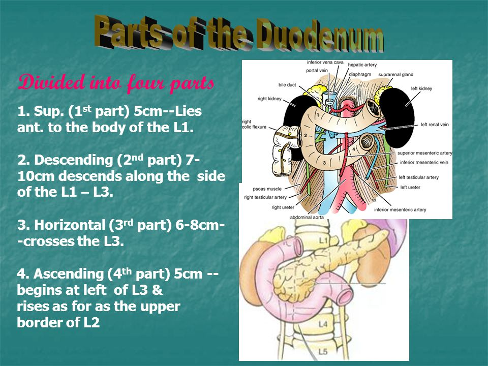Parts of the Duodenum Divided into four parts