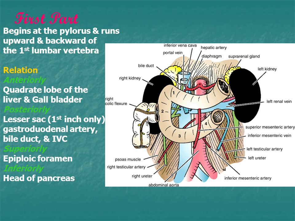 First Part Begins at the pylorus & runs upward & backward of the 1st lumbar vertebra. Relation. Anteriorly.