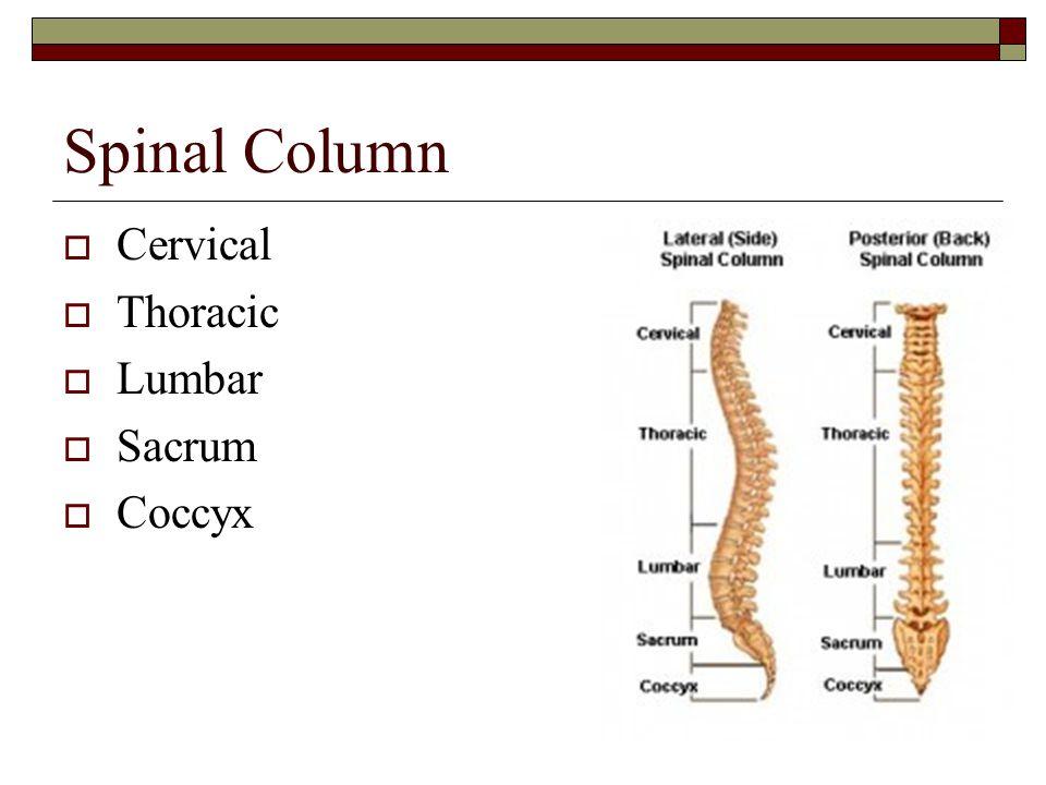 Spinal Column Cervical Thoracic Lumbar Sacrum Coccyx