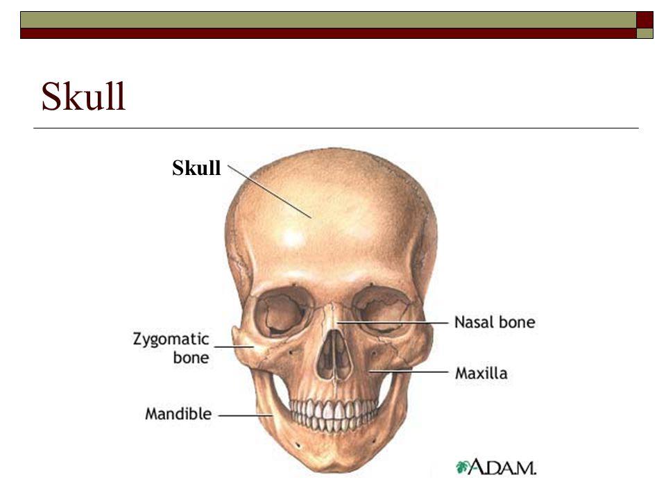 Skull Skull