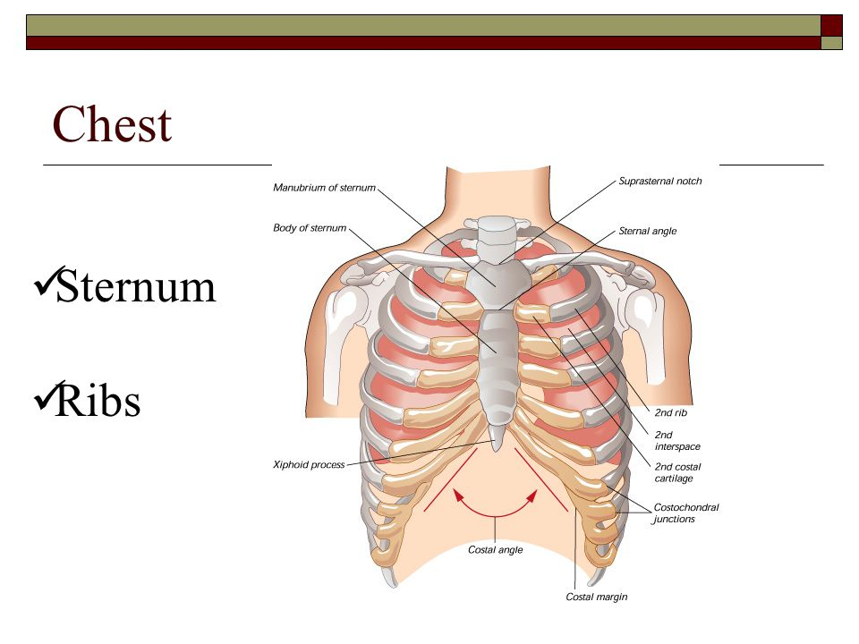 Chest Sternum Ribs