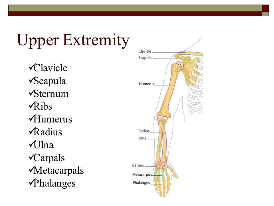 Upper Extremity Clavicle Scapula Sternum Ribs Humerus Radius Ulna