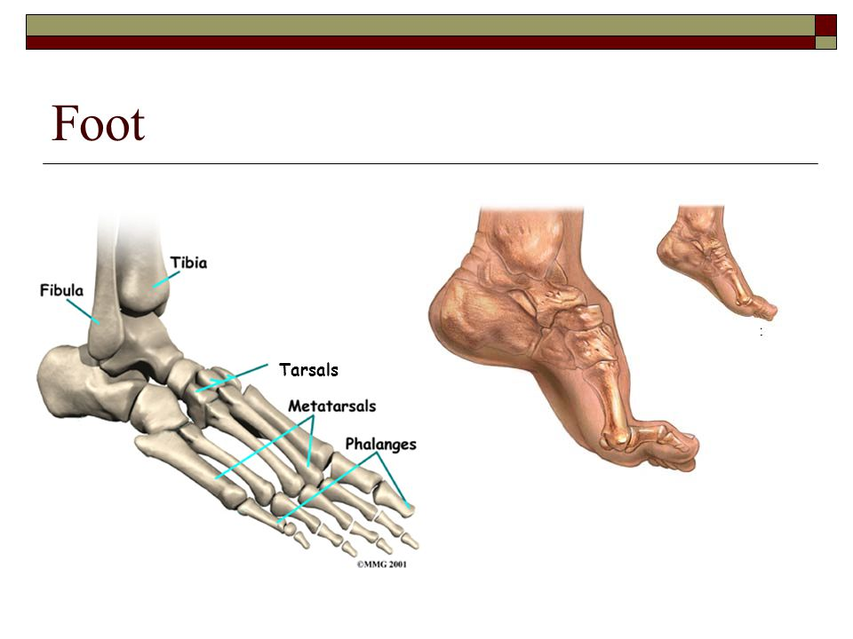 Foot Tarsals