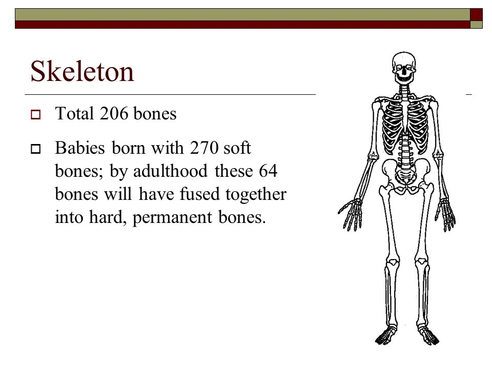 Skeleton Total 206 bones.
