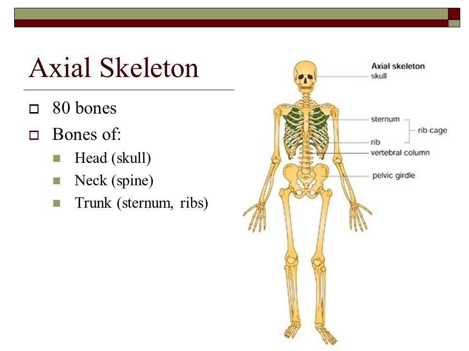 Axial Skeleton 80 bones Bones of: Head (skull) Neck (spine)