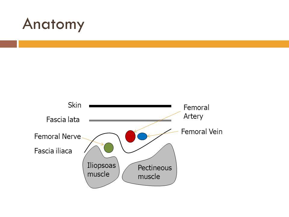 Anatomy Skin Femoral Artery Fascia lata Femoral Vein Femoral Nerve