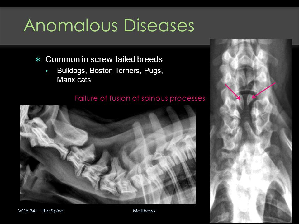 Anomalous Diseases Common in screw-tailed breeds