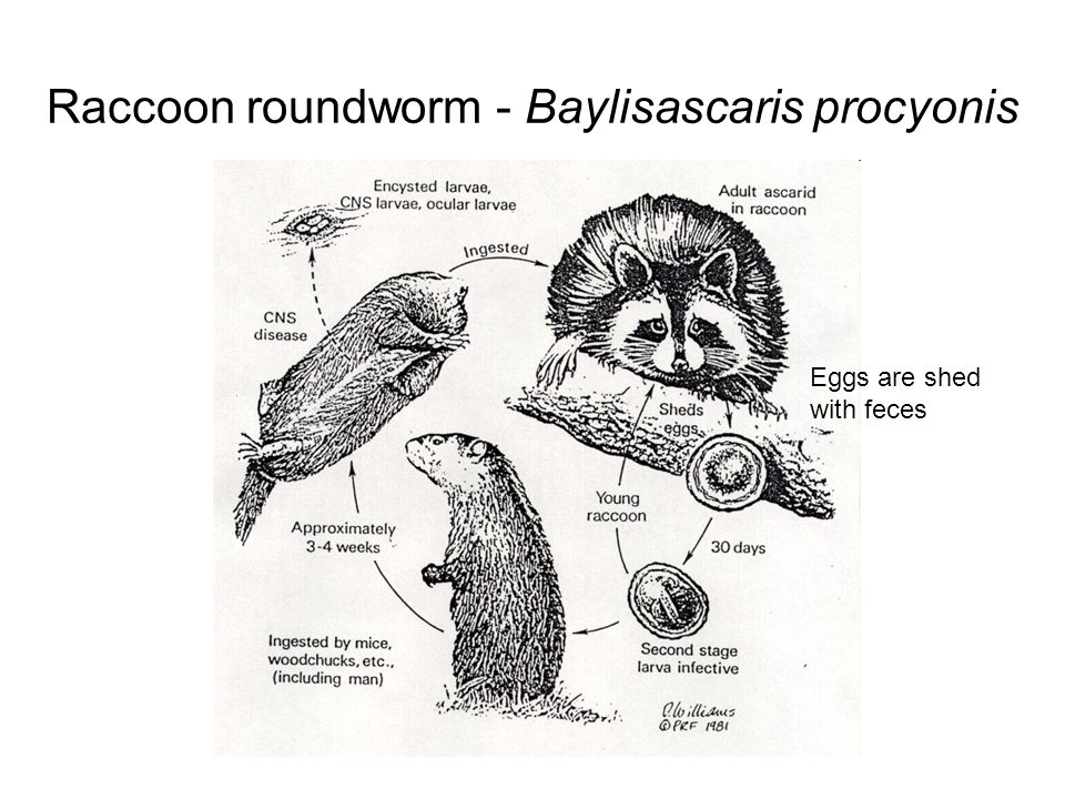 Raccoon roundworm - Baylisascaris procyonis