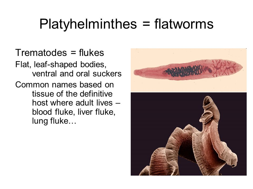 Platyhelminthes = flatworms