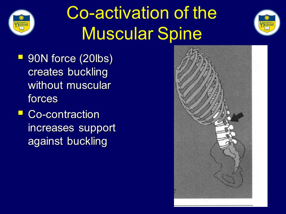 Co-activation of the Muscular Spine