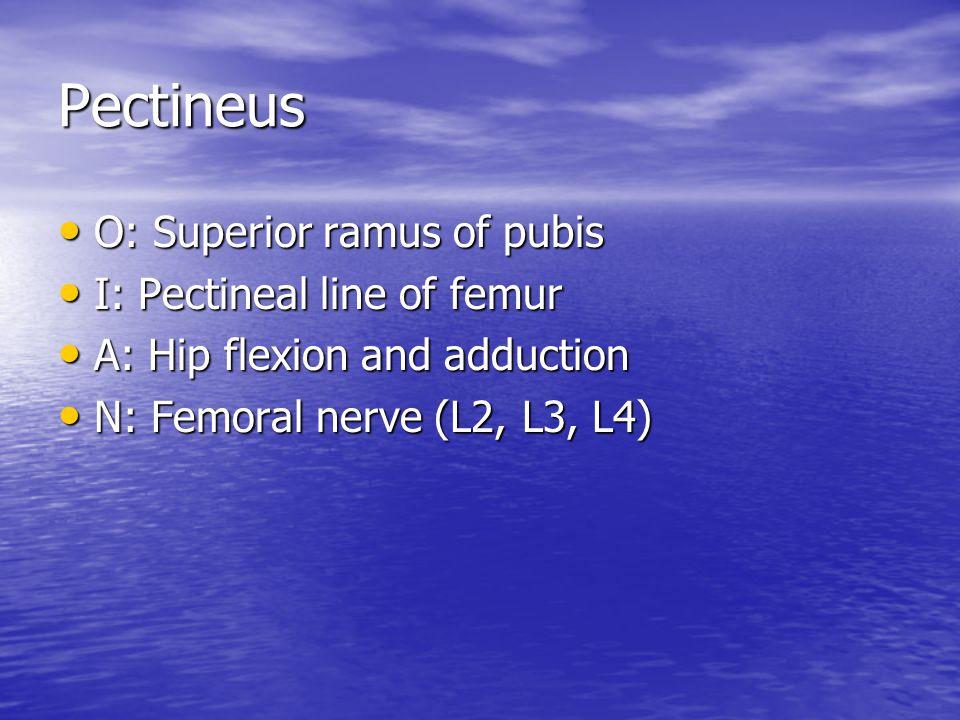 Pectineus O: Superior ramus of pubis I: Pectineal line of femur