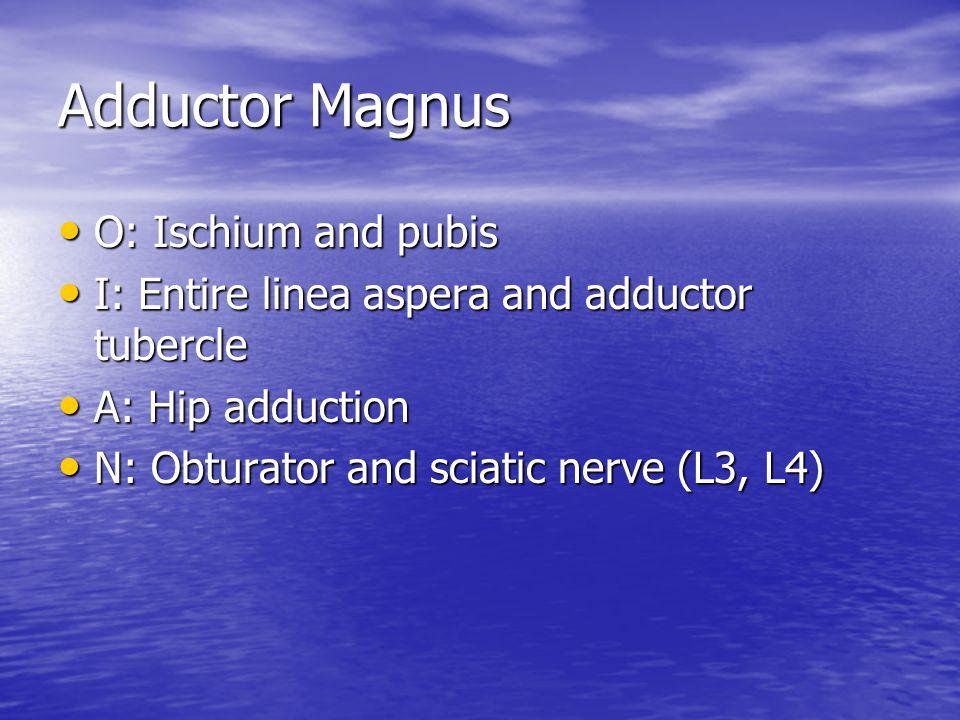 Adductor Magnus O: Ischium and pubis