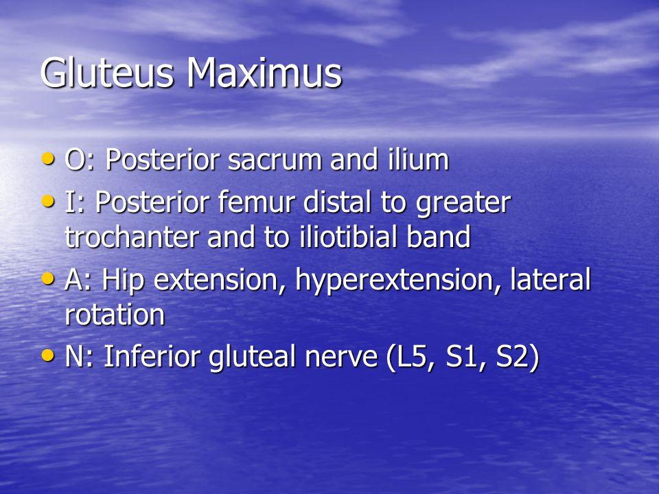 Gluteus Maximus O: Posterior sacrum and ilium