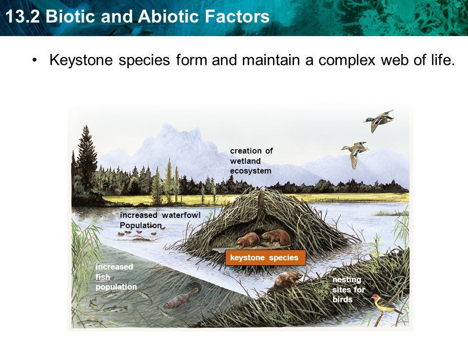 Keystone species form and maintain a complex web of life.