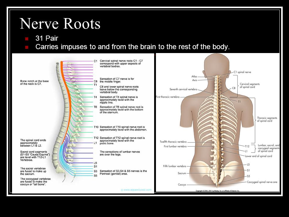Nerve Roots 31 Pair Carries impuses to and from the brain to the rest of the body.