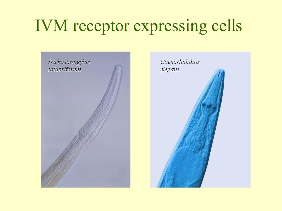 IVM receptor expressing cells