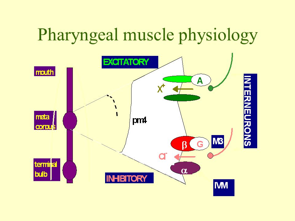 Pharyngeal muscle physiology