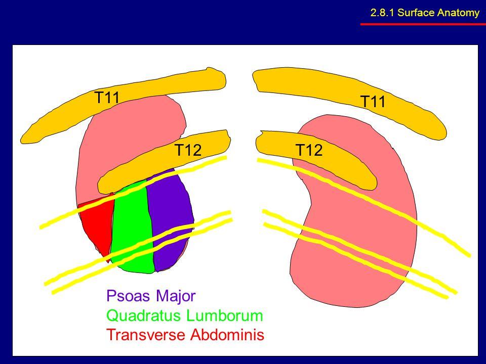 T11 T11 T12 T12 Psoas Major Quadratus Lumborum Transverse Abdominis