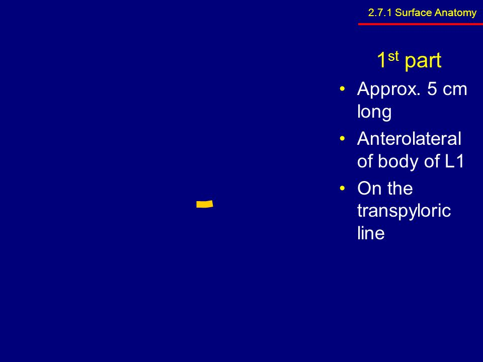 1st part Approx. 5 cm long Anterolateral of body of L1