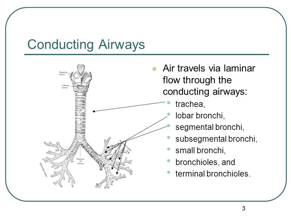 Conducting Airways Air travels via laminar flow through the conducting airways: trachea, lobar bronchi,