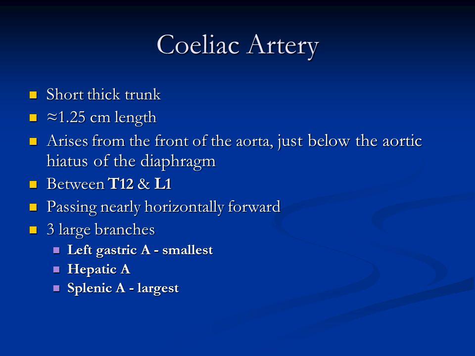 Coeliac Artery Short thick trunk ≈1.25 cm length