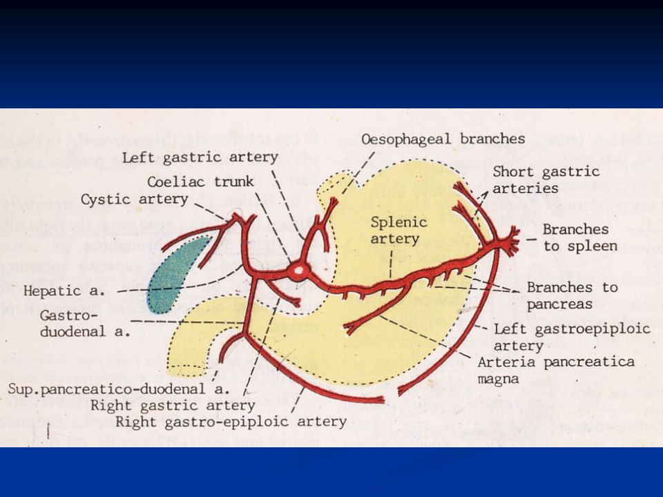 The Hepatic Artery (a. hepatica) in the adult is intermediate in size between the left gastric and lienal; in the fetus, it is the largest of the three branches of the celiac artery. It is first directed forward and to the right, to the upper margin of the superior part of the duodenum, forming the lower boundary of the epiploic foramen (foramen of Winslow). It then crosses the portal vein anteriorly and ascends between the layers of the lesser omentum, and in front of the epiploic foramen, to the porta hepatis, where it divides into two branches, right and left, which supply the corresponding lobes of the liver, accompanying the ramifications of the portal vein and hepatic ducts. The hepatic artery, in its course along the right border of the lesser omentum, is in relation with the common bile-duct and portal vein, the duct lying to the right of the artery, and the vein behind. 9 Its branches are: 10 Right Gastric. Gastroduodenal ( Right Gastroepiploic. Superior Pancreaticoduodenal). Cystic.