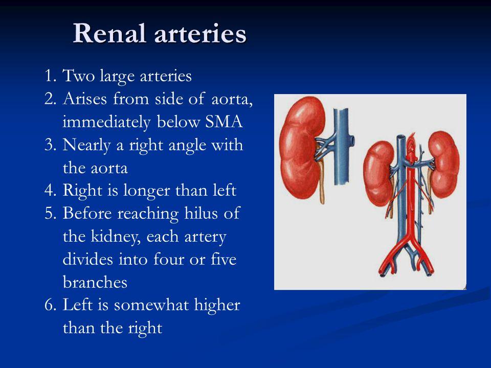 Renal arteries Two large arteries