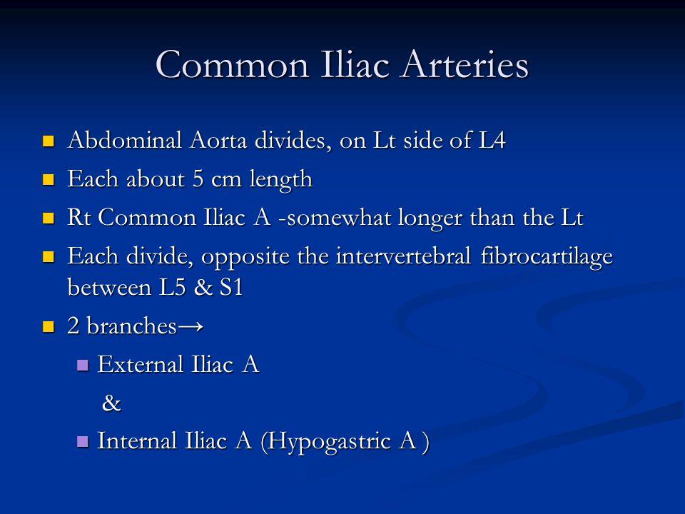 Common Iliac Arteries Abdominal Aorta divides, on Lt side of L4