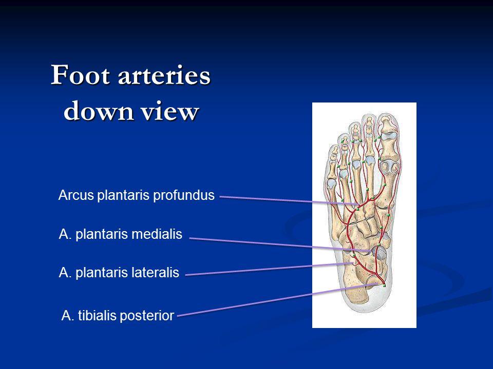 Foot arteries down view