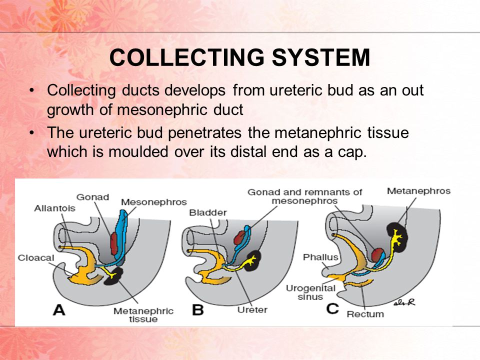 COLLECTING SYSTEM Collecting ducts develops from ureteric bud as an out growth of mesonephric duct.