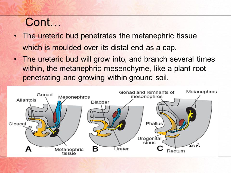 Cont… The ureteric bud penetrates the metanephric tissue which is moulded over its distal end as a cap.