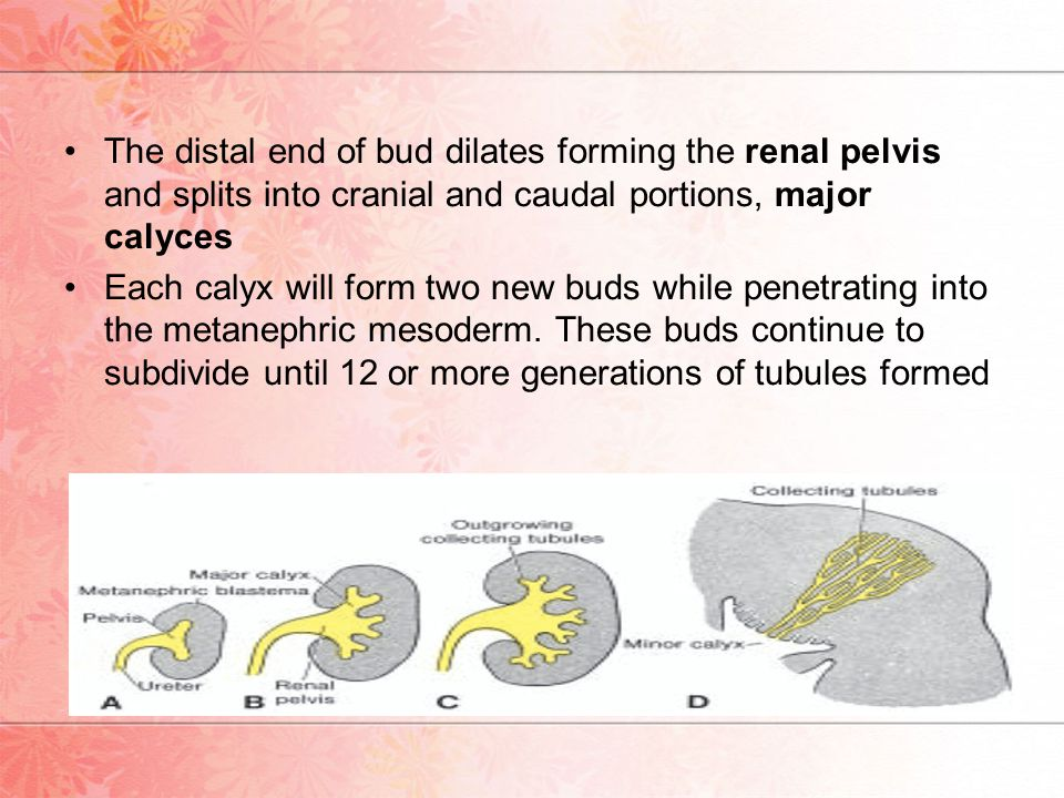 The distal end of bud dilates forming the renal pelvis and splits into cranial and caudal portions, major calyces