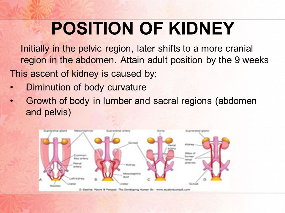 POSITION OF KIDNEY Initially in the pelvic region, later shifts to a more cranial region in the abdomen. Attain adult position by the 9 weeks.