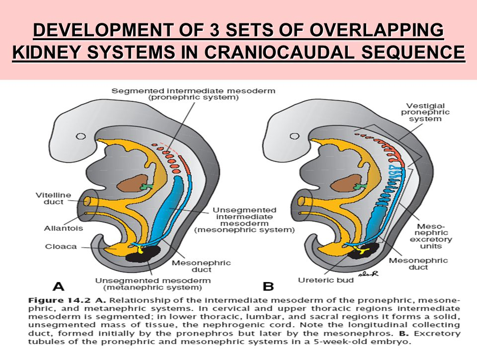 DEVELOPMENT OF 3 SETS OF OVERLAPPING KIDNEY SYSTEMS IN CRANIOCAUDAL SEQUENCE