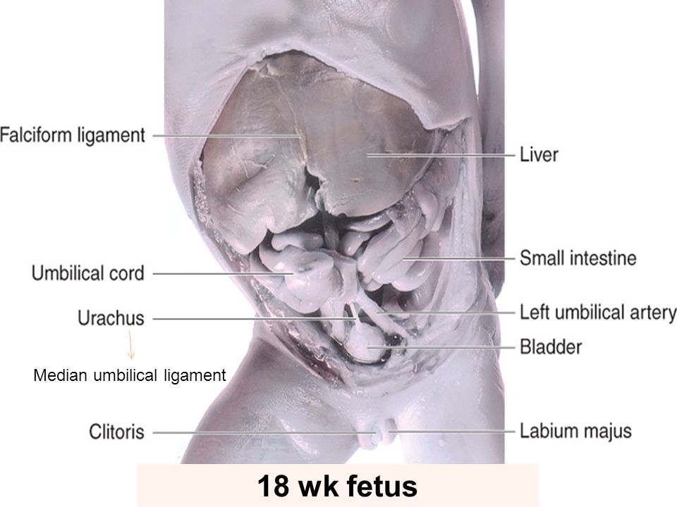 Median umbilical ligament