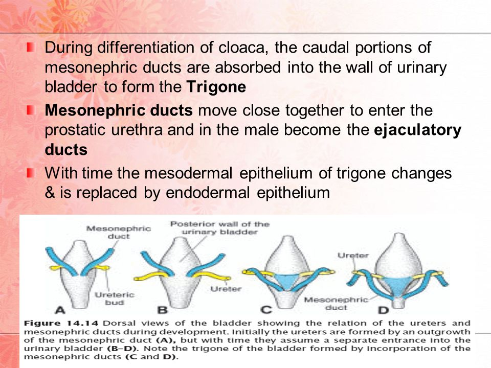 During differentiation of cloaca, the caudal portions of mesonephric ducts are absorbed into the wall of urinary bladder to form the Trigone
