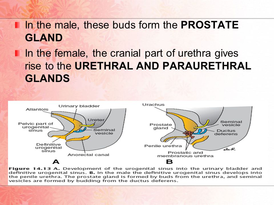 In the male, these buds form the PROSTATE GLAND