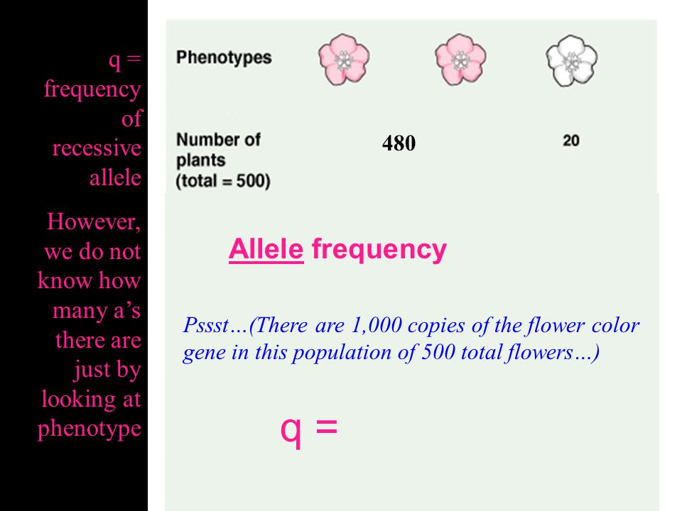 q = Allele frequency q = frequency of recessive allele