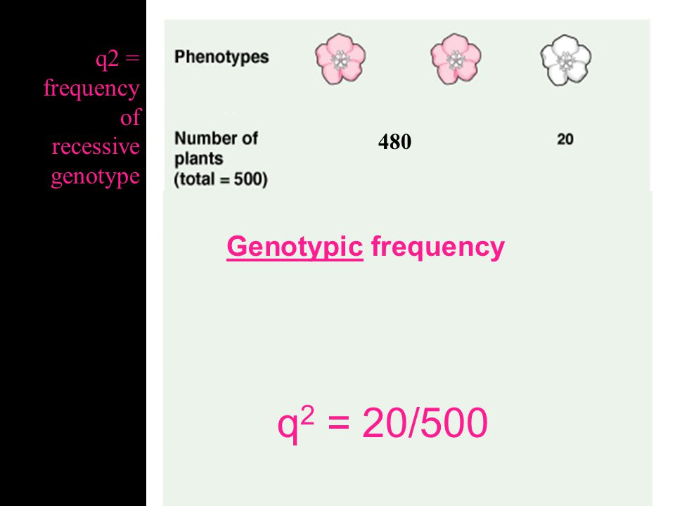 q2 = 20/500 Genotypic frequency q2 = frequency of recessive genotype