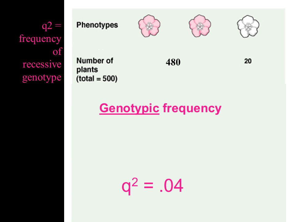 q2 = .04 Genotypic frequency q2 = frequency of recessive genotype 480