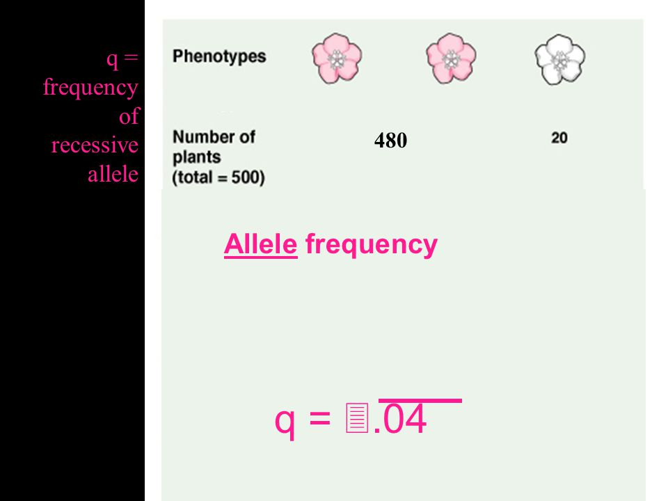 q = .04 Allele frequency q = frequency of recessive allele 480