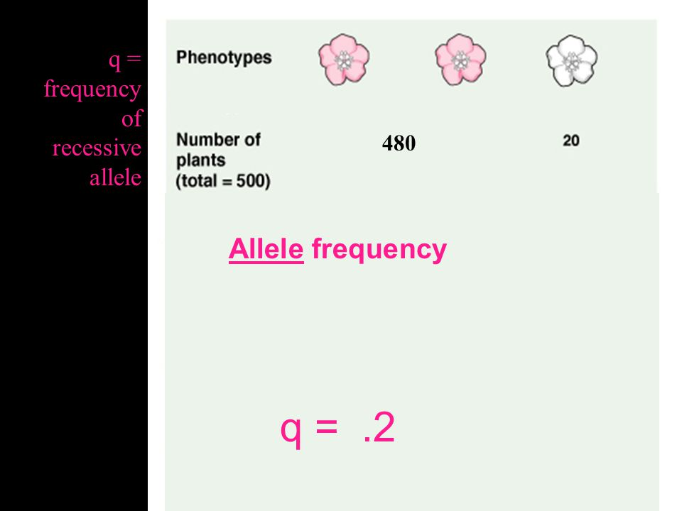 q = .2 Allele frequency q = frequency of recessive allele 480