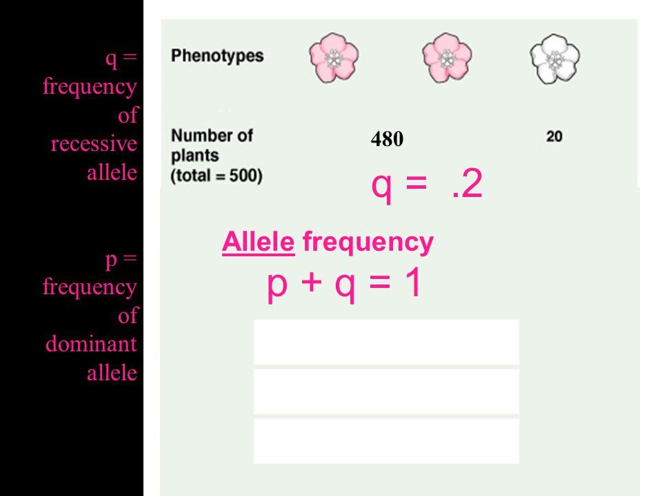 q = .2 p + q = 1 p + .2 = 1 p = 1 - .2 p = .8 Allele frequency