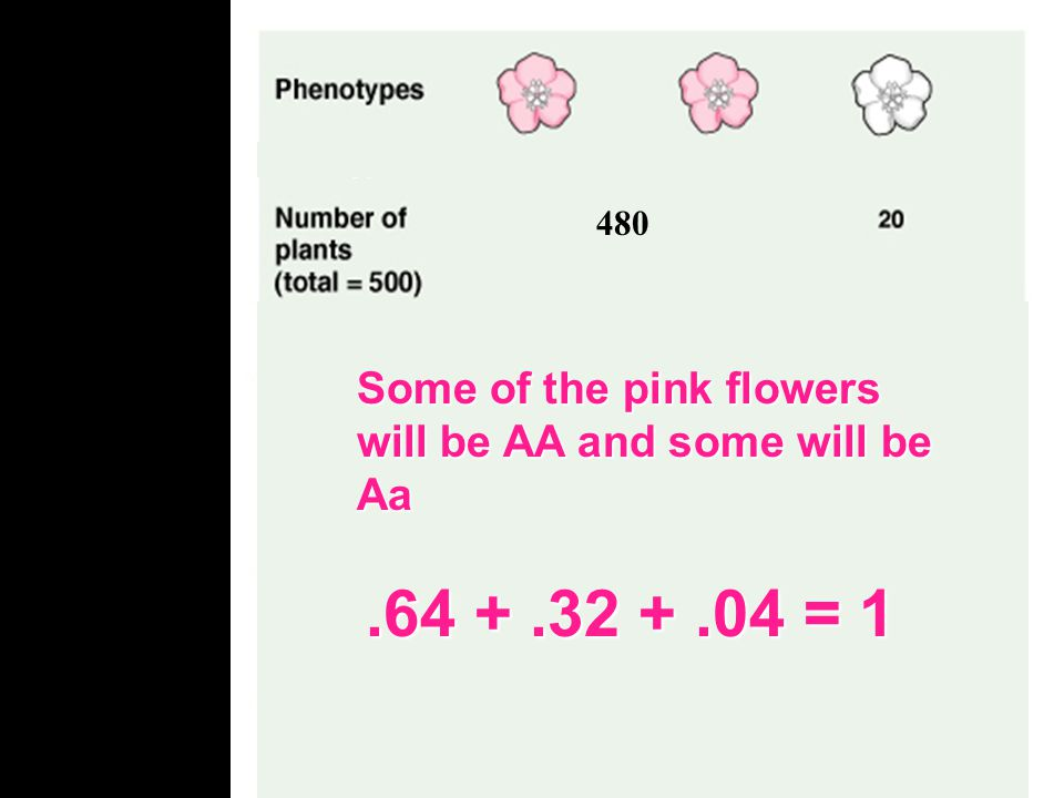 480 Some of the pink flowers will be AA and some will be Aa. Lets first look at the frequency of alleles in a population.