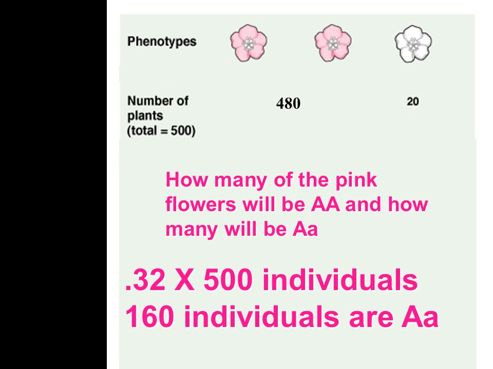 .32 X 500 individuals 160 individuals are Aa