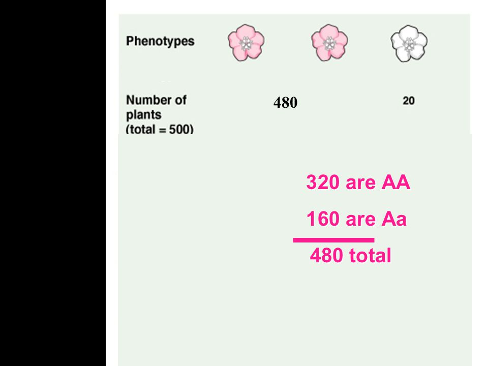 480 320 are AA. 160 are Aa. 480 total. Lets first look at the frequency of alleles in a population.